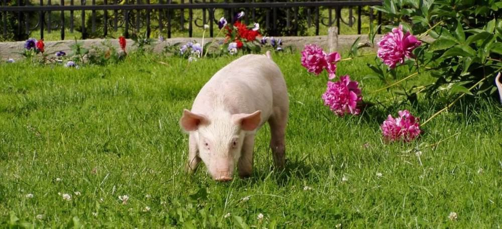 even indoor pet pigs need outside time (1)