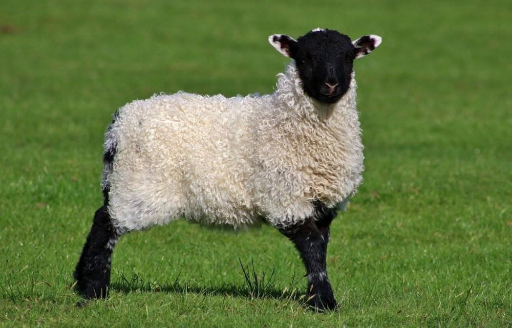 even pet lambs love it outside