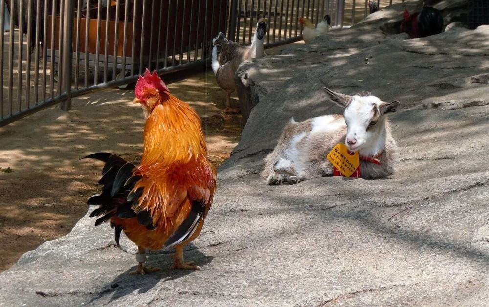 how to house goats and chickens together