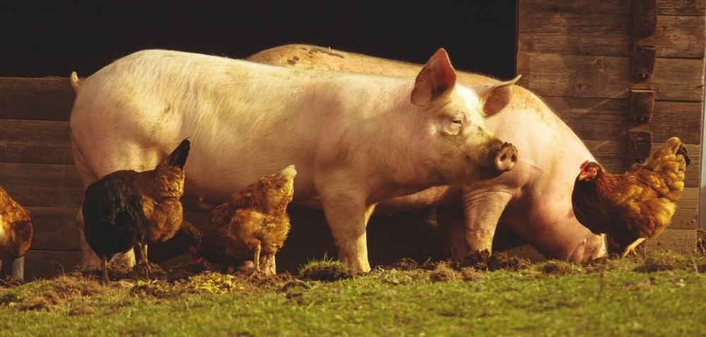 how to house pigs and chickens together (1)