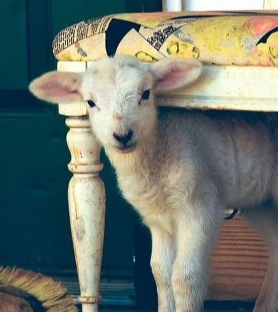 how to house train lambs