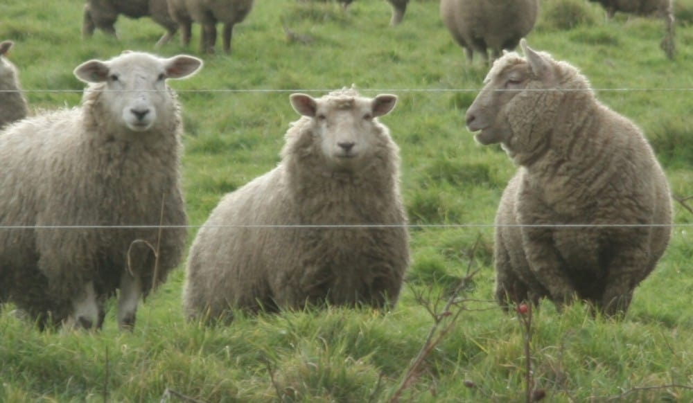 how to identify pregnant ewes