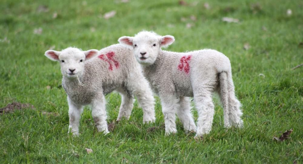 how to successfully breed lambs
