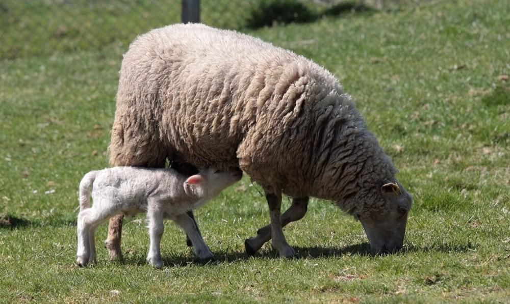 how to tell if an ewe is ready to give birth