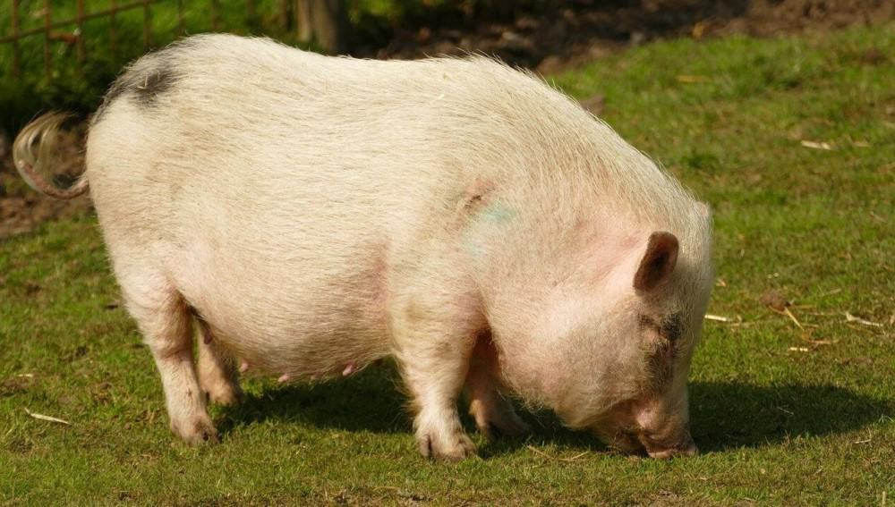 Kunekune pigs are one of the smallest pig breeds (1)