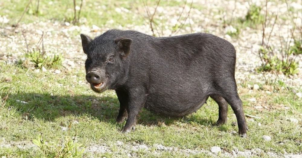 potbellied pigs are often called teacup pigs and can reach 150 lbs (1)