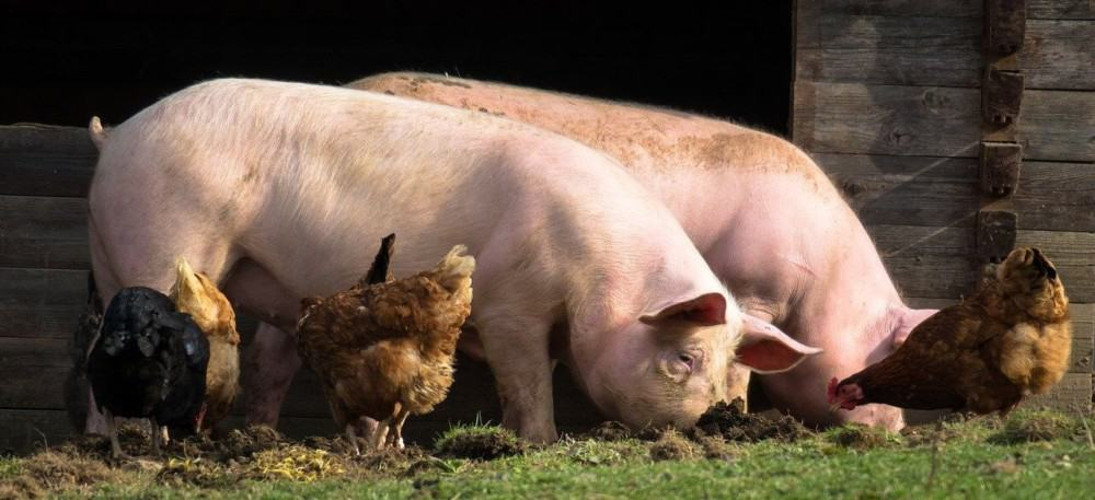 steps to housing pigs and chickens together safely (1)