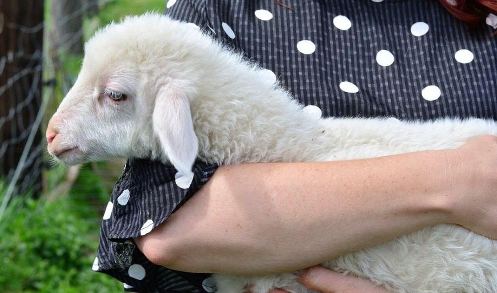 train your lambs as house pets