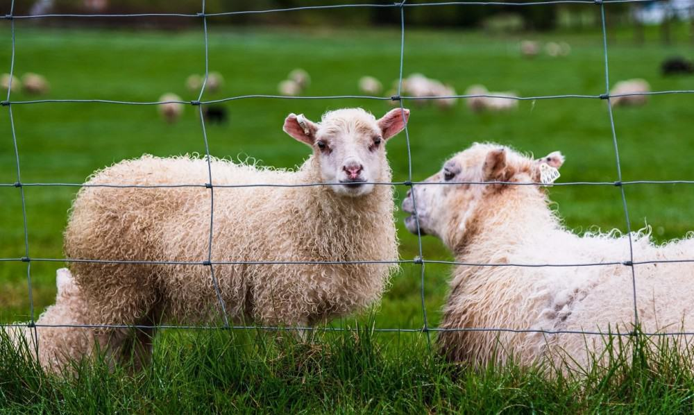 woven net wire works well with sheep
