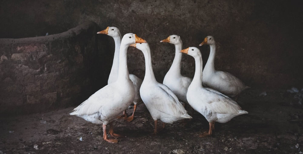 Geese choose a partner around 3 yrs of age (1)