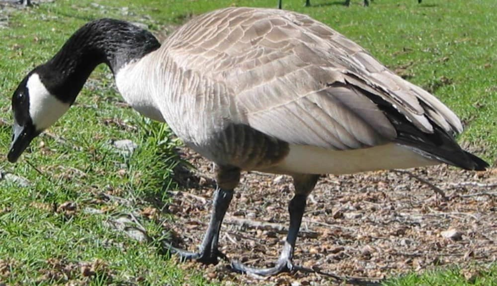 Geese prefer other geese as company (1)