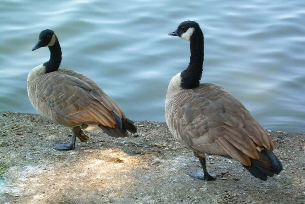 Once a goose chooses a partner, they are loyal (1)