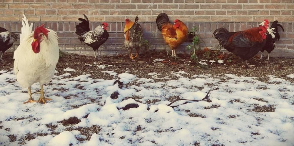 Chicken breeds that do well in the winter (1)