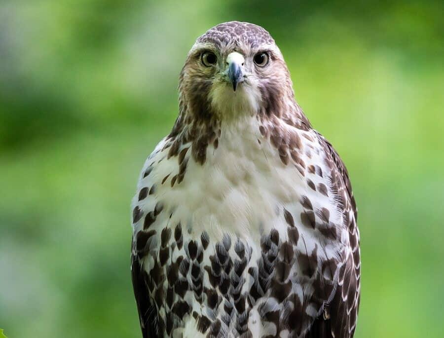 Coopers-Hawk-is-a-chicken-hawk-1