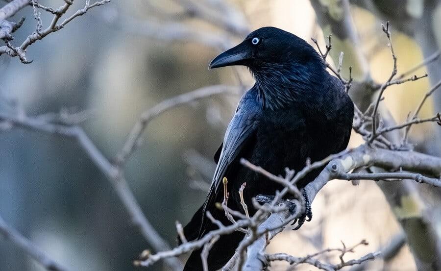 Crows-annoy-hawks-1