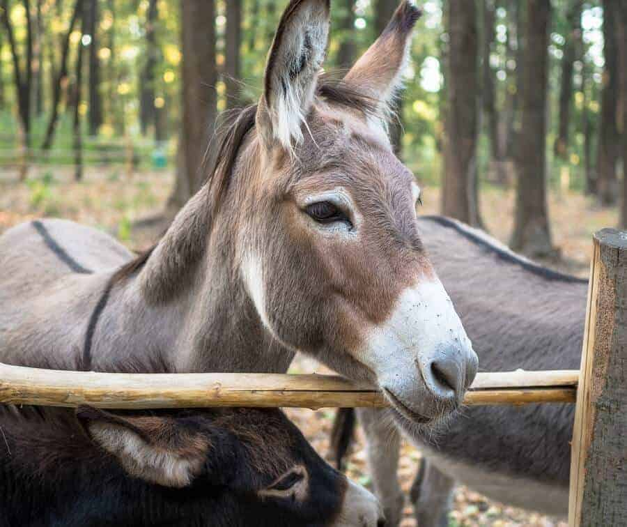 Donkeys-can-intimidate-hawks-and-protect-chickens-1