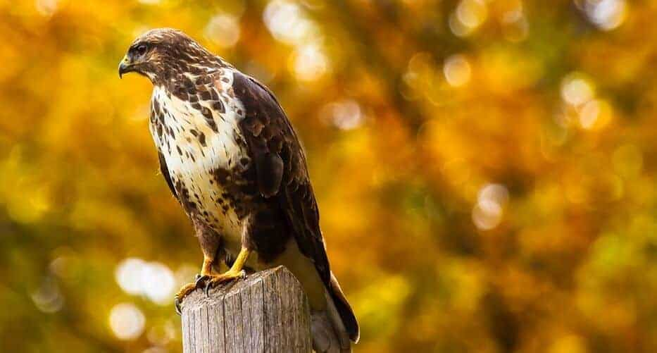 Eliminate-perching-for-hawks-1