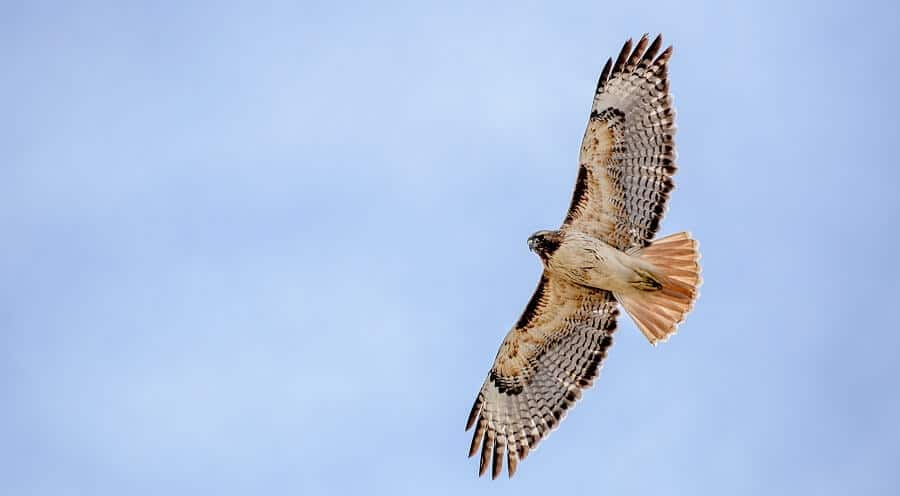 Hawks-are-more-likely-to-eat-chickens-in-the-morning-1