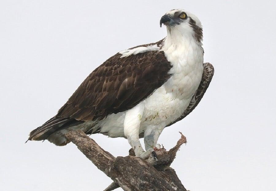 Hawks-are-smart-raptors-1