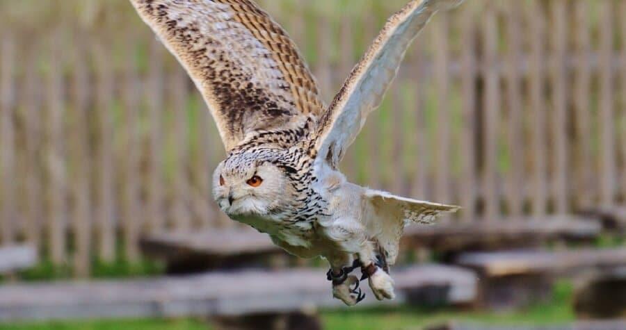 Hawks-will-kill-adult-chickens-1