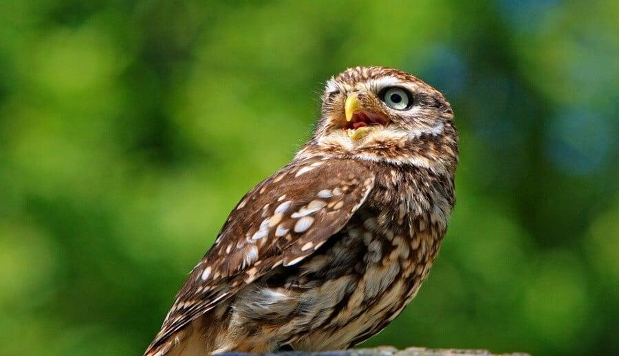 Sharp-shinned-hawks-are-a-chicken-hawk-1
