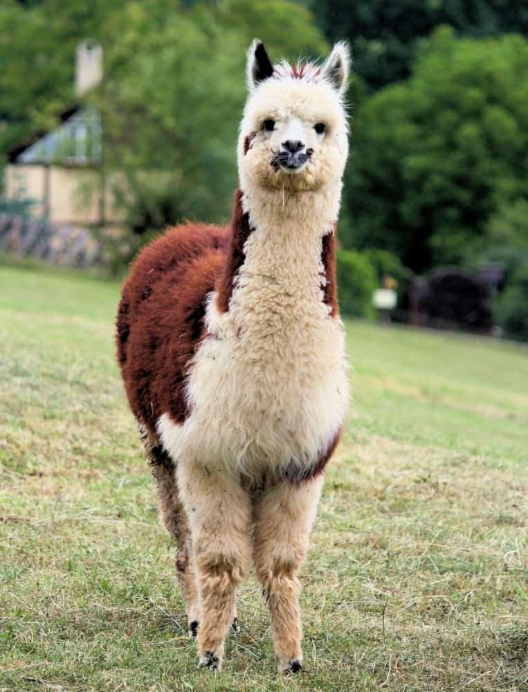 Alpacas come in many colors