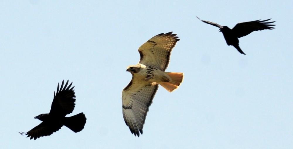 Crows chasing hawk (1)