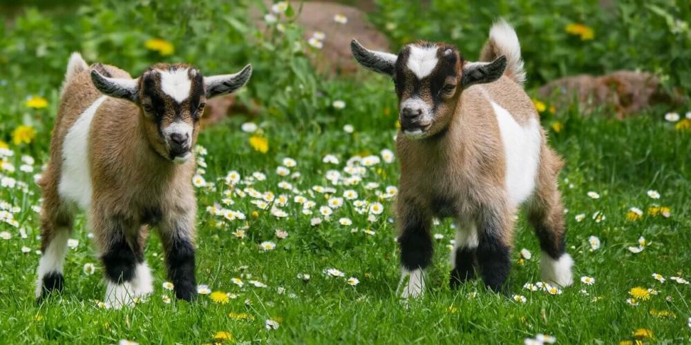 Goats are very profitable without a lot of expense (1)