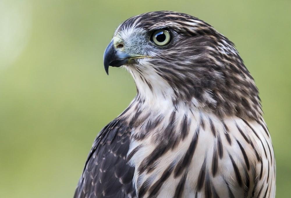Hawks easily prey on chickens (1)