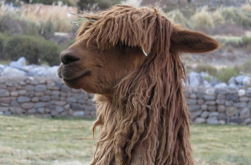Huacaya Alpacas have longer fiber (1)