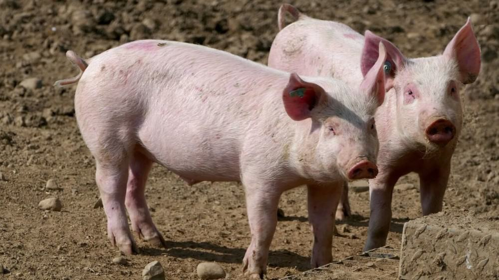 Pigs become profitable when they can forage for most of their food1 (1)