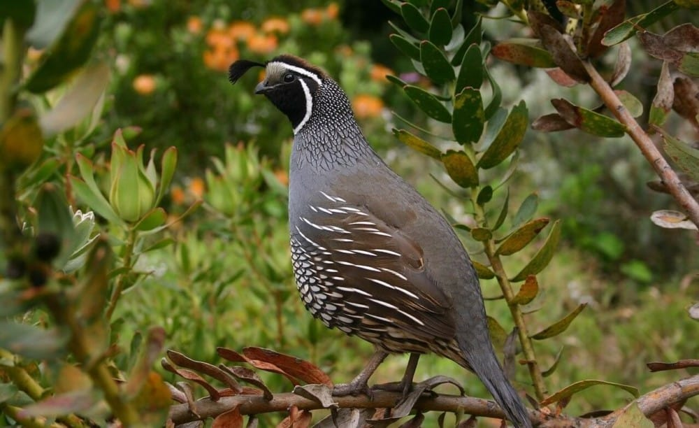 Quail are easy to raise on little land1 (1)