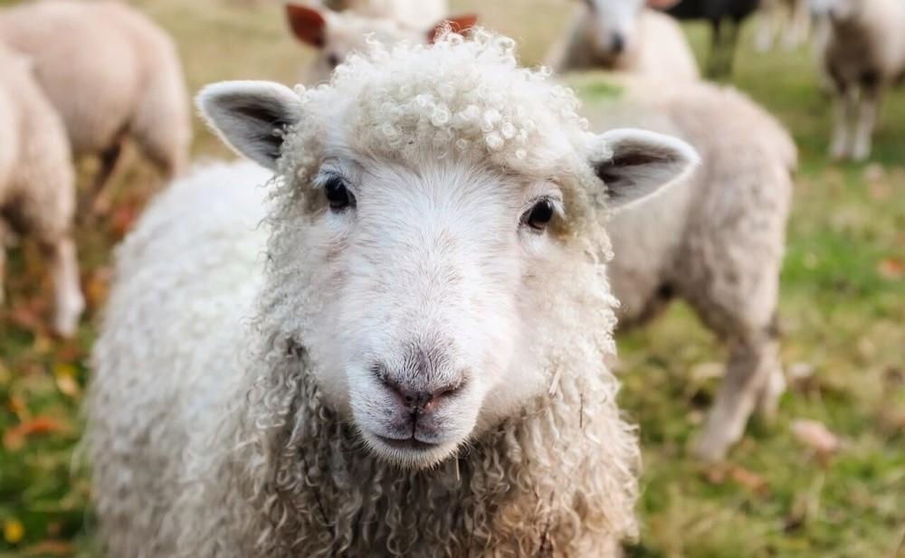 Sheep are a profitable small farm animal1 (1)