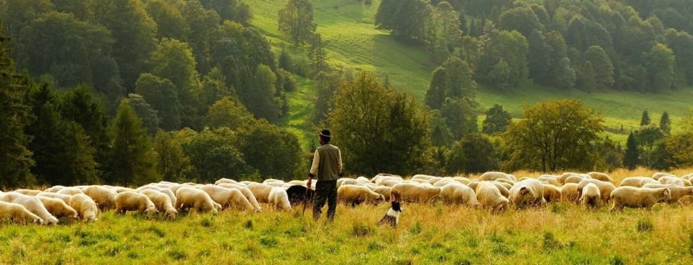 Sheep are profitable on a large scale1 (1)