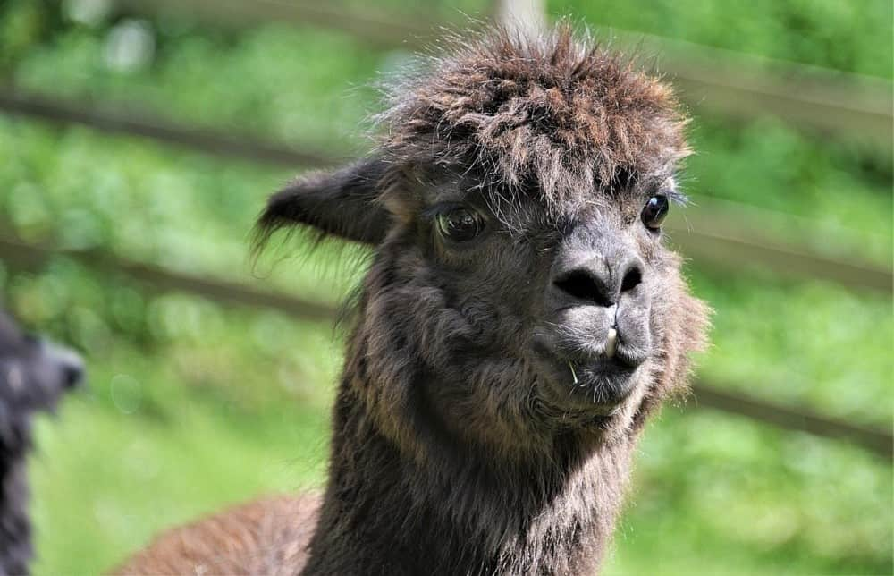 There are two breeds of alpacas (1)