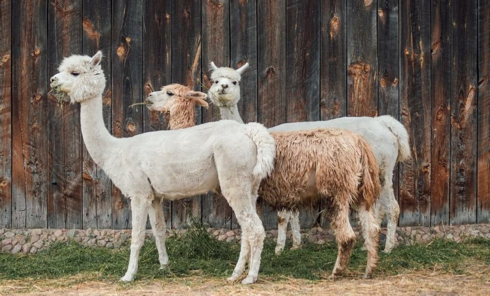 alpacas and llamas are in high demand1 (1)