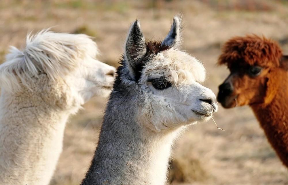 alpacas are profitable livestock (1)