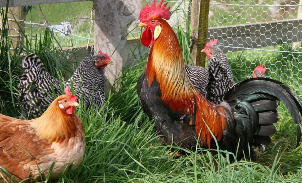 roosters protect the hens1 (1)