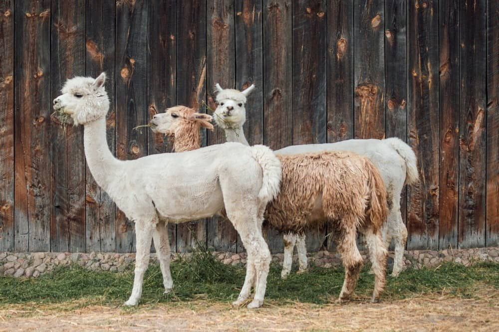 Alpacas prices depend on many factors (1)