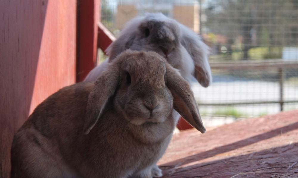 How to protect rabbits from predators (2)