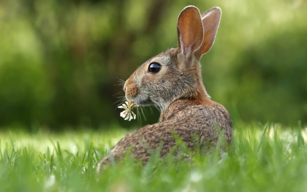 Rabbits eat grass and hay as a main staple 1
