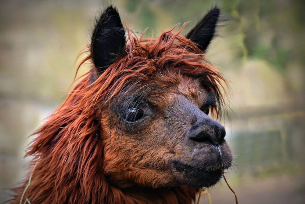 The breed of an alpaca make a difference in the value (1)