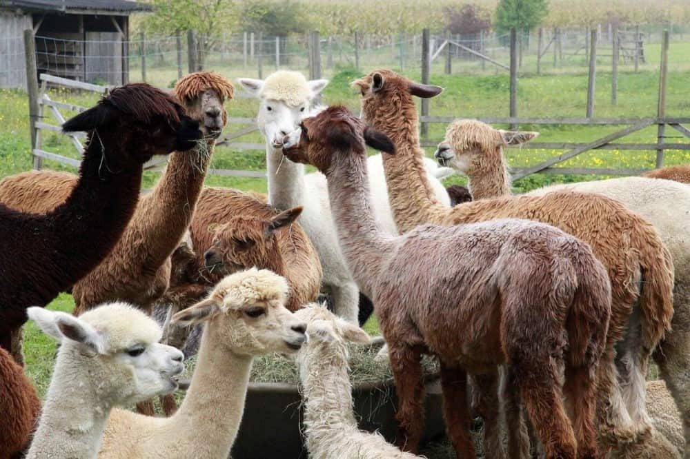 The cost of alpacas varies by fur color (1)