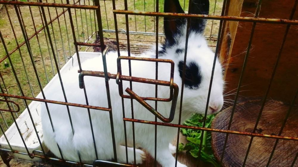 This rabbit cage isn't secure against most predators (2)