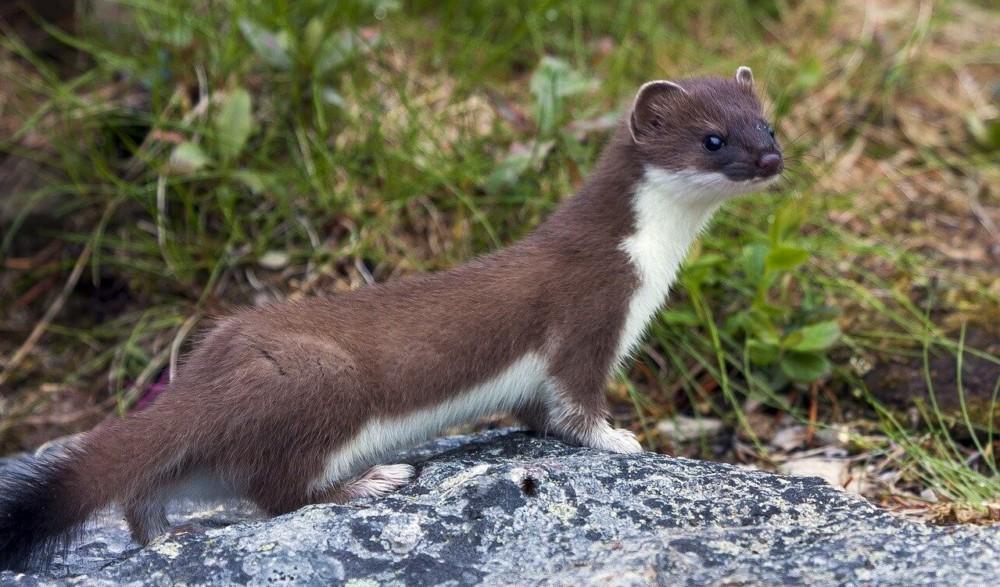 Weasels love rabbits (2)