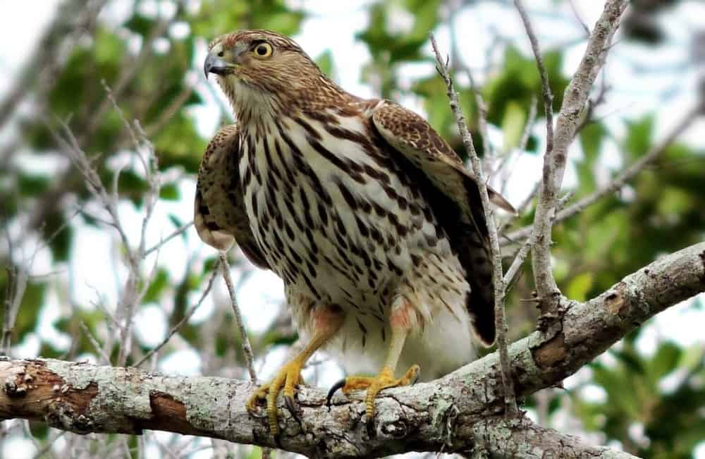 cooper hawks kill rabbits by squeezing them hard (2)