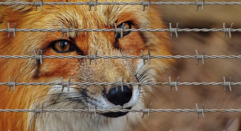 fences help to keep foxes from eating rabbits (2)