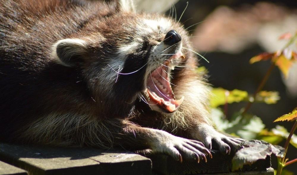 raccoons are brutal predators (2)