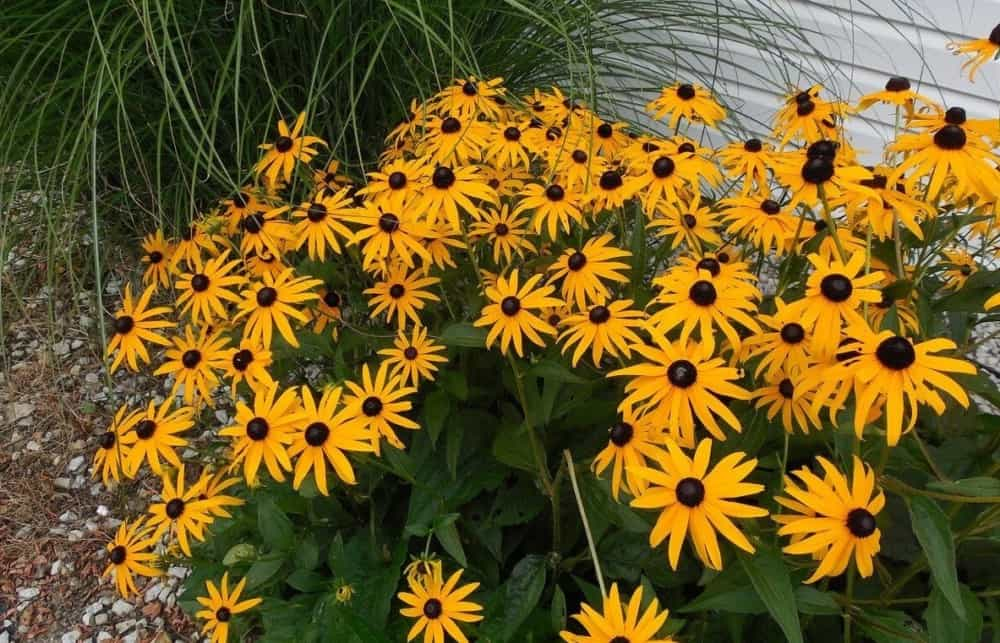 Black Eyed Susans are a favorite of bees (2)