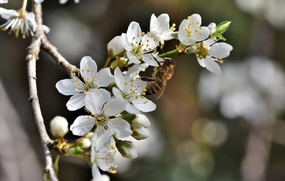 Cherry trees need bees to produce fruit (2)